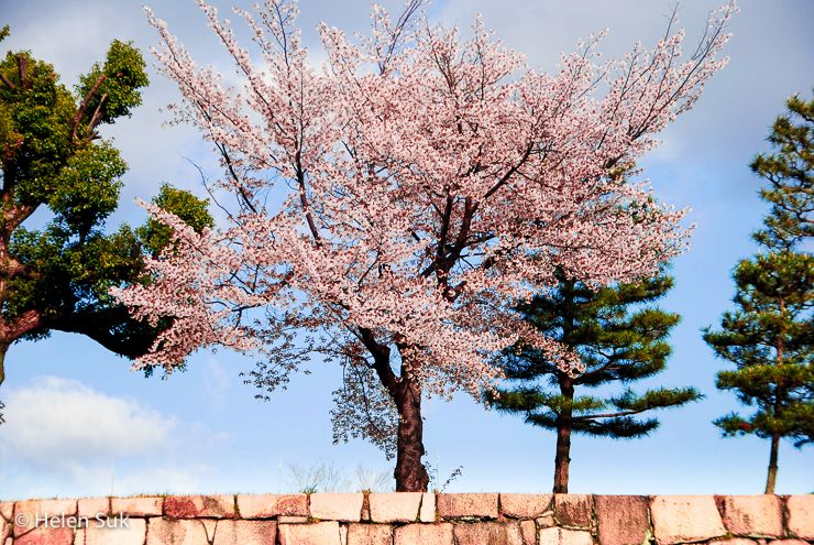 The Meaning Of Cherry Blossoms In Japan Life Death And Renewal Cherry Blossom Tree Cherry Blossom Japan Blossom Trees