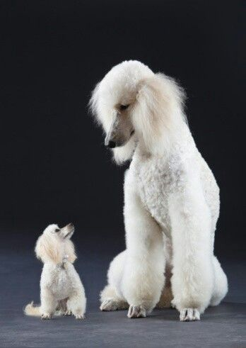 Adult toy poodles for sale 14