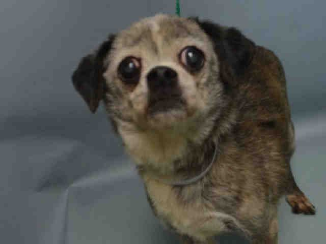 SAFE 1-7-2016 --- SUPER URGENT Brooklyn Center GOLDIE – A1061782  FEMALE, BROWN / BLACK, CHIHUAHUA LH MIX, 8 yrs STRAY – STRAY WAIT, NO HOLD Reason STRAY Intake condition UNSPECIFIE Intake Date 12/29/2015