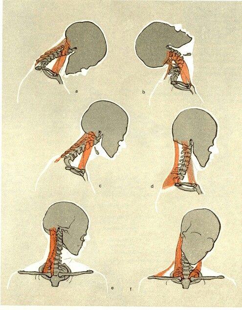 Neck movements   Anatomy   Pinterest   Anatomy