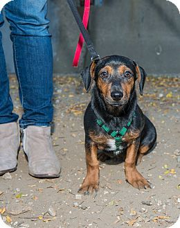 Simon Is A Dachshund Beagle Mix For Adoption With His Bonded