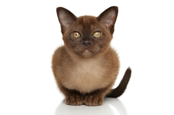 Burmese Cat Breed Information Pictures Characteristics Facts Burmese Cat Cat Breeds Siamese Cats Facts