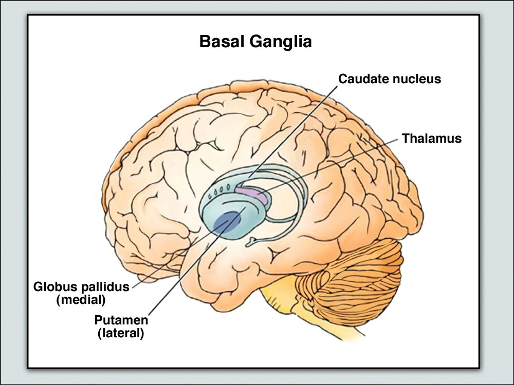 Basal Ganglia | Physical Therapy | Pinterest | Brain, Brain injury ...