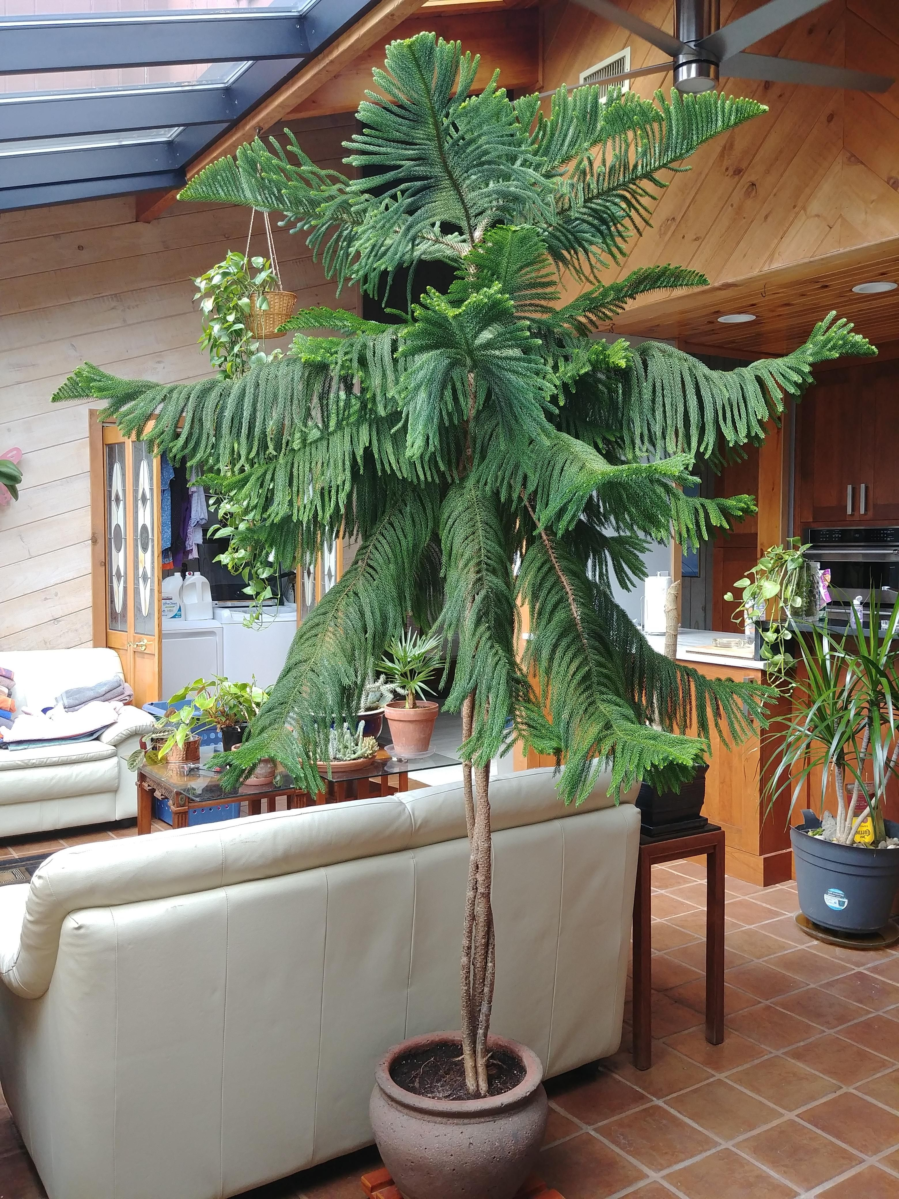 Norfolk Island Pine Large Indoor Plants Tall Indoor Plants Indoor Plants