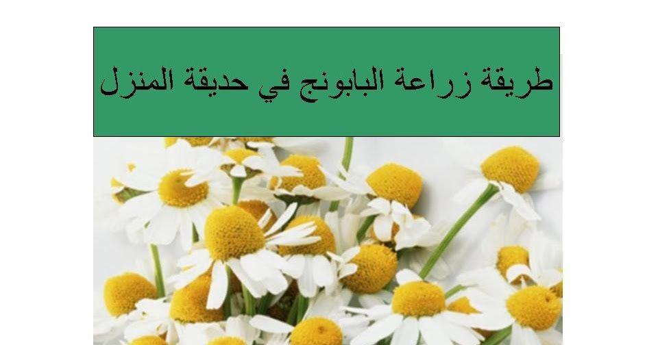 طريقة زراعة البابونج في حديقة المنزل قوائد البابونج العلاجية Blog Blog Posts