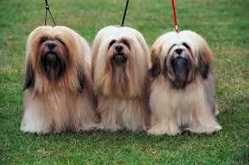 Lhasa Apso Dog And Puppy For Sale In Hyderabad With Low Price We