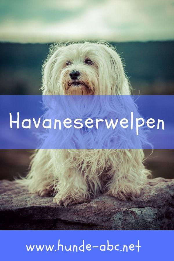 Havaneserwelpen Hunde, Hunde welpen, Havaneser welpen