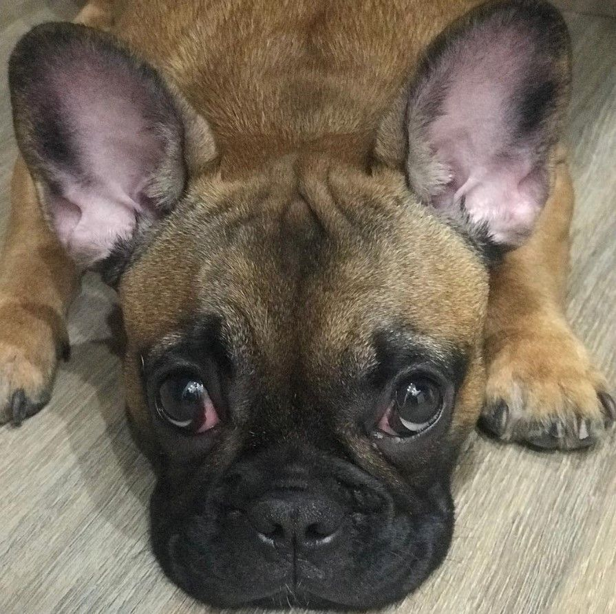 bulldog dogsofinstagram dog frenchie dogs