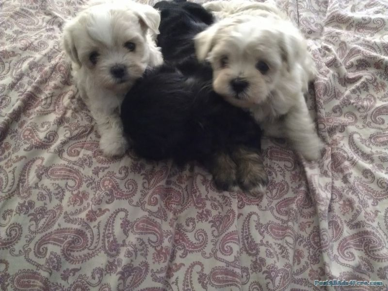 Maltizhu Free Classified Ad Dogs Animals Free Classified Ads