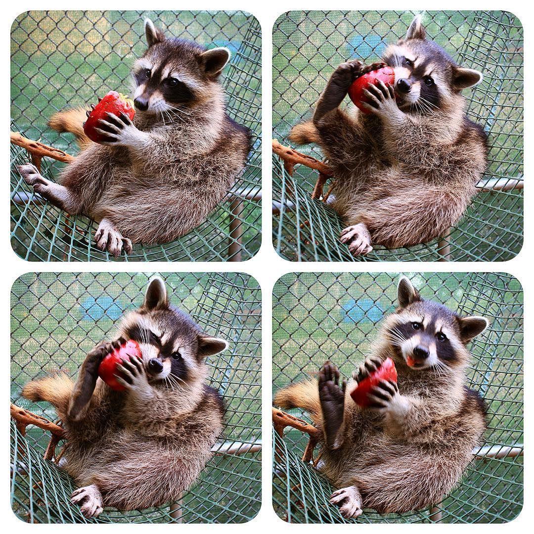 Rowdy Raccoon Baby Brunch Eating Apples Fruit Feisty Foot