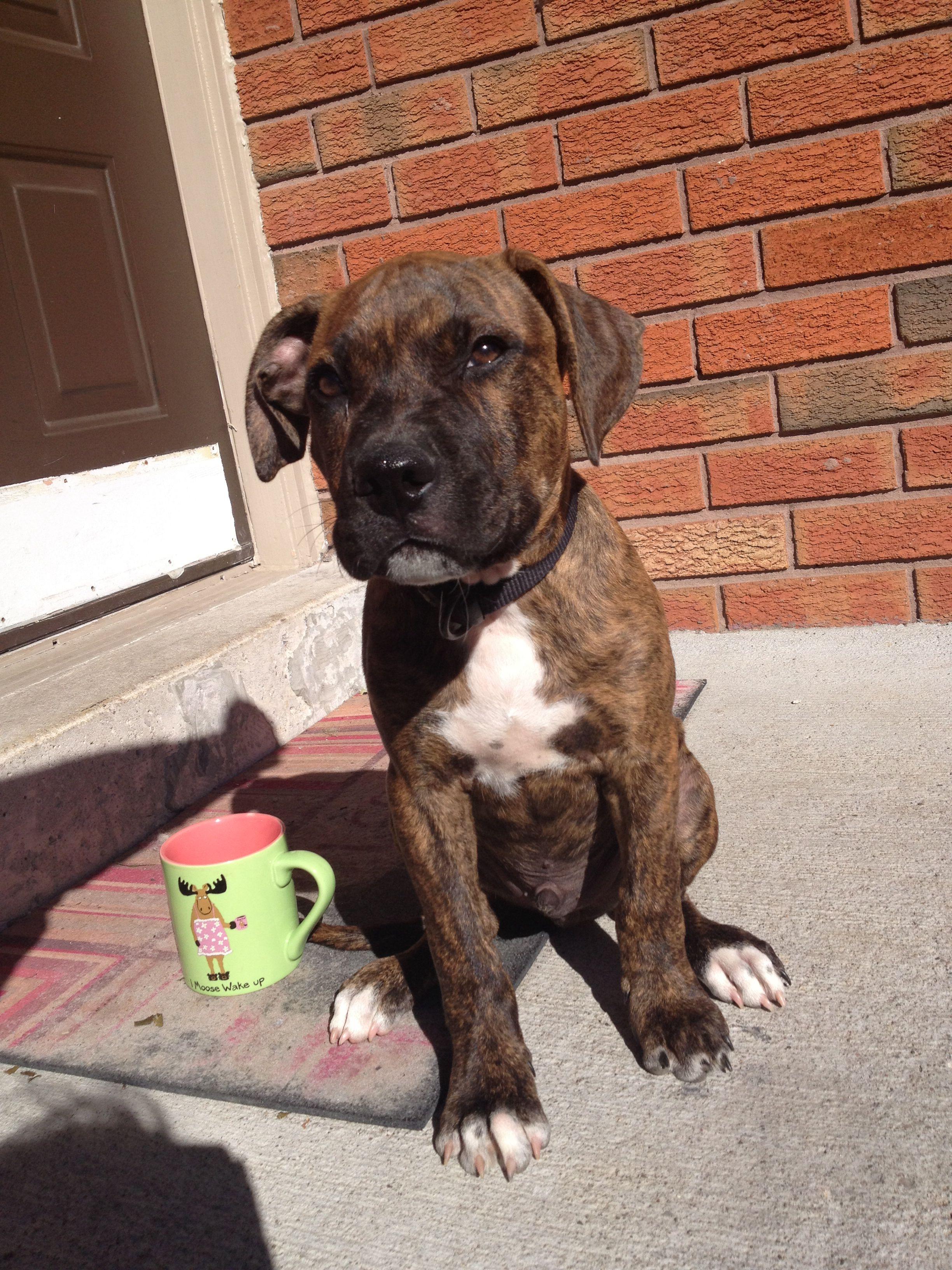 Bullmastiff Puppy 11 Weeks Jax Goodboy Dog Boarding Bull