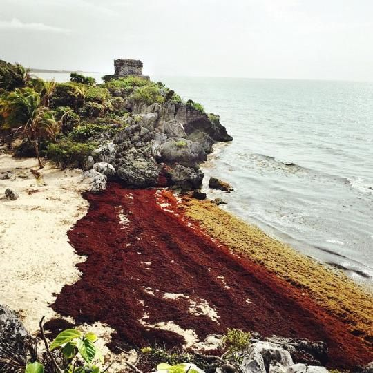 Caribbean Clogged: Seaweed Invasion Takes Over Beaches