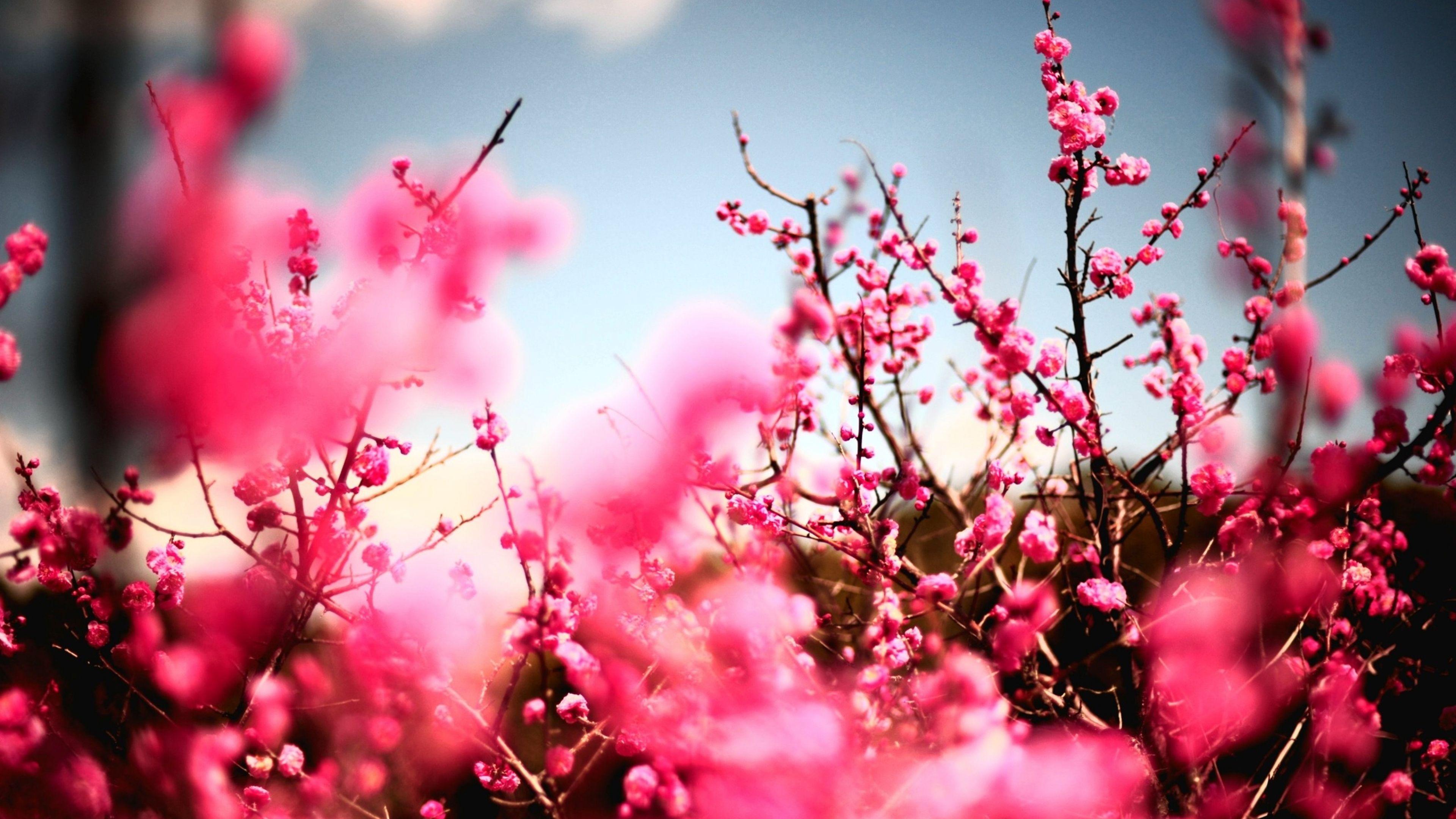 Download Wallpaper 3840x2160 Flowers Sky Nature Beautiful Cherry Blossom Wallpaper Blossom Trees Cherry Blossom Tree