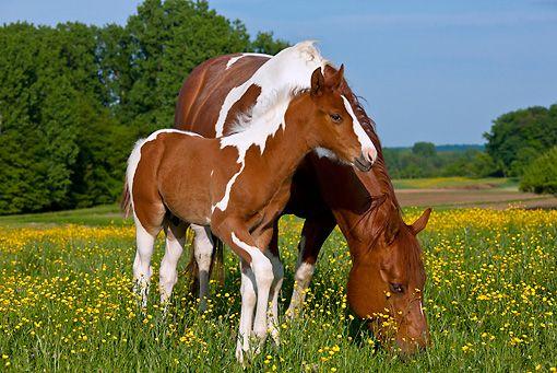 quarter horse - Animal Stock Photos - Kimballstock in 2020
