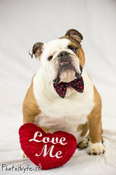 A Valentine Bulldog Bulldog Funny Bulldog Pics Animal Valentine