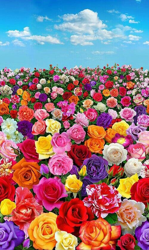 Pin By Lorena On Roses Beautiful Flowers Wallpapers Beautiful Rose Flowers Rose Flower Wallpaper