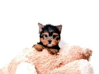 Micro Teacup Madonna Is Our Yorkie Yorkie Puppy For Sale Yorkie Puppy Yorkie