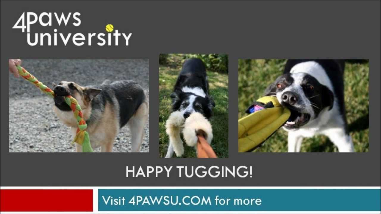 The Tug Game is an excellent reward in dog training, a
