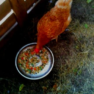 New outside critter!! Found my tomato thief so now she's in the fowl pen!