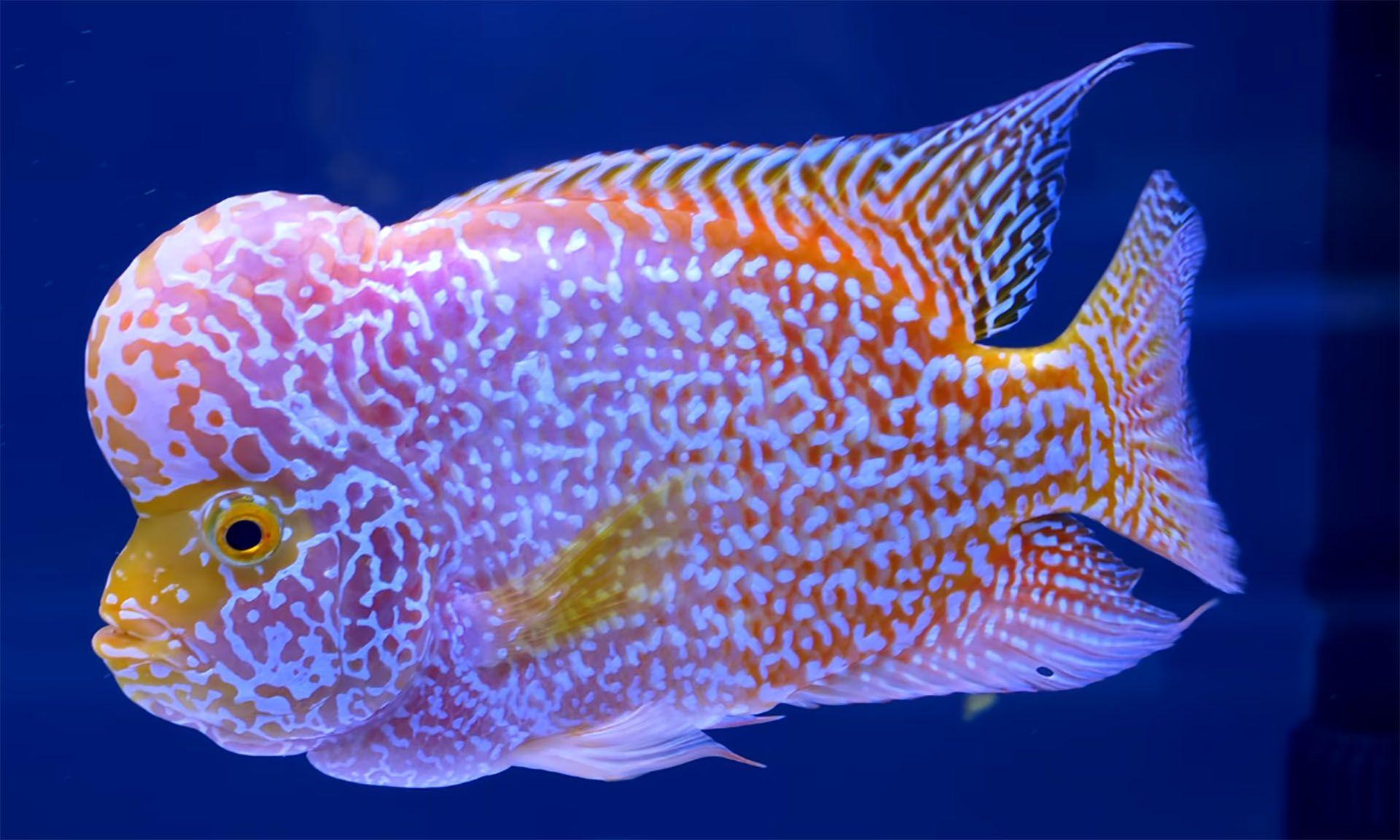 Where To Buy Flowerhorn Online Betta Fish Types Cichlid Fish Fish