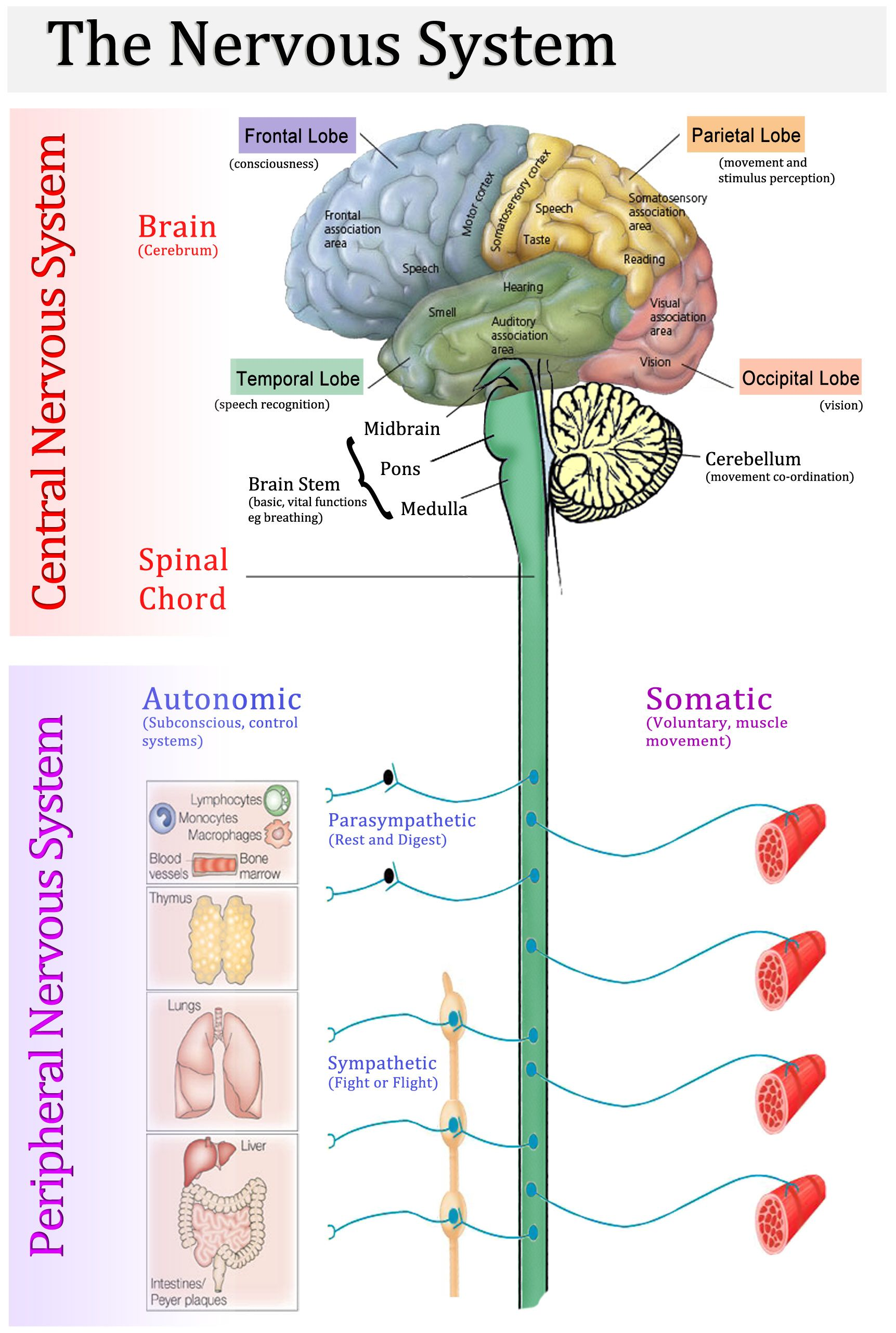 cns vs pns school (psychology and related fields) nervous system Gray and White Matter CNS Diagram