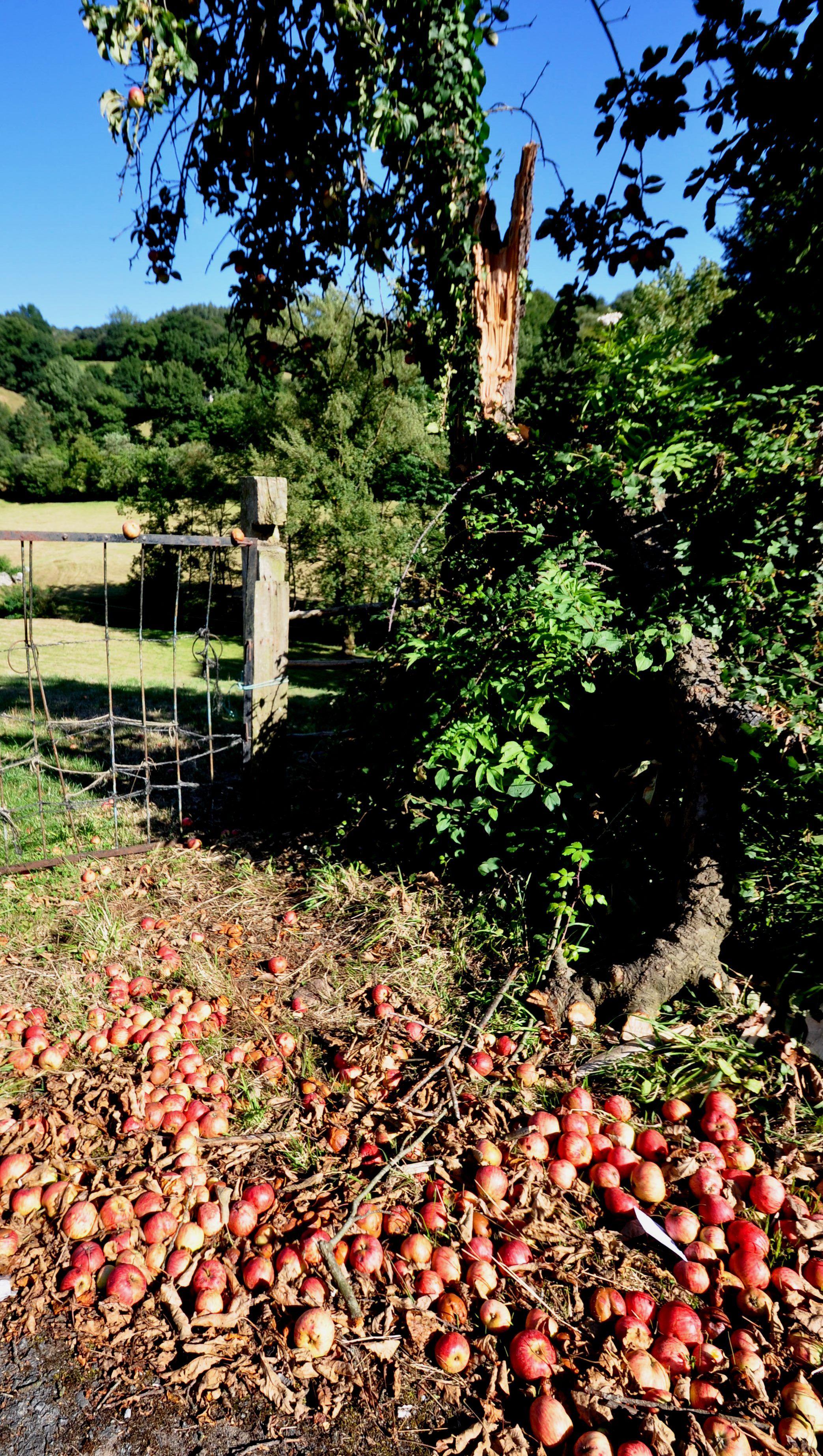 Manzanas en el suelo