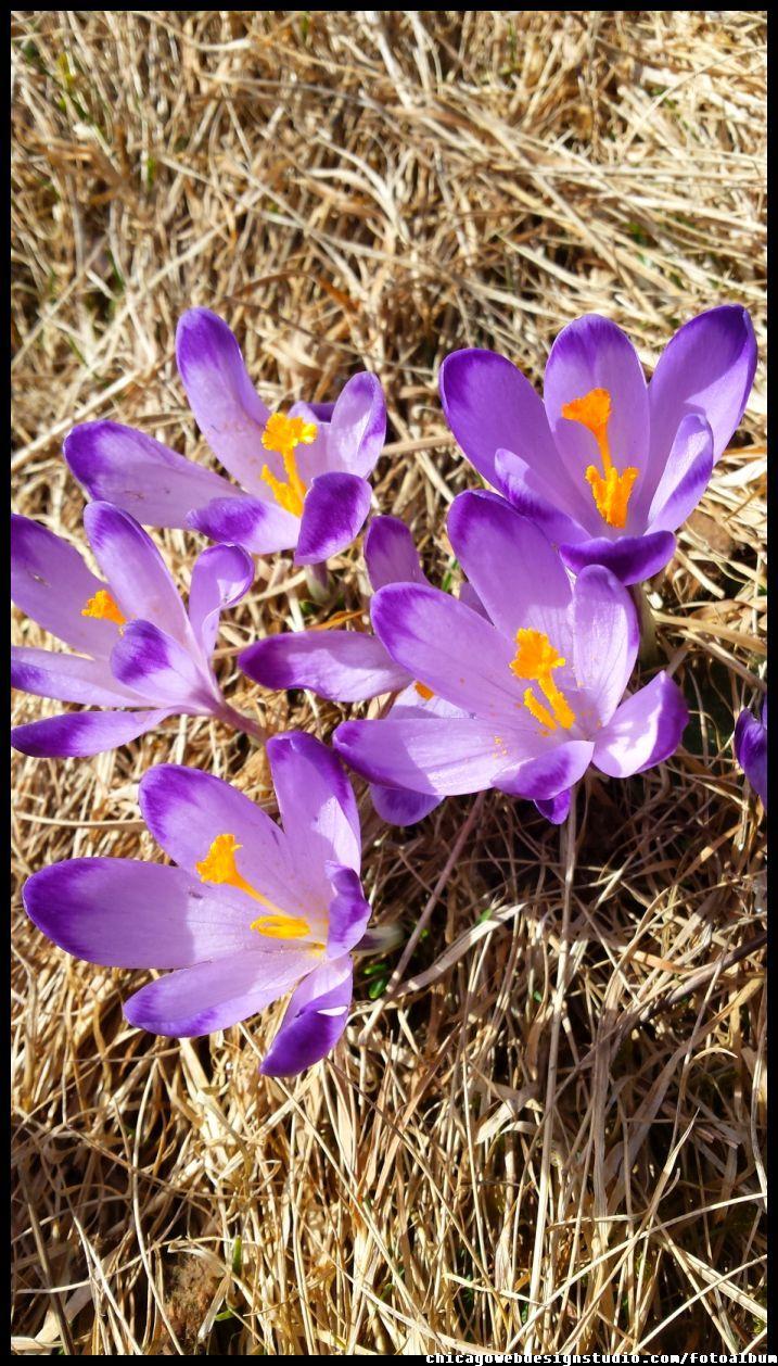 Krokusy Crocuses Crocus Plants Image