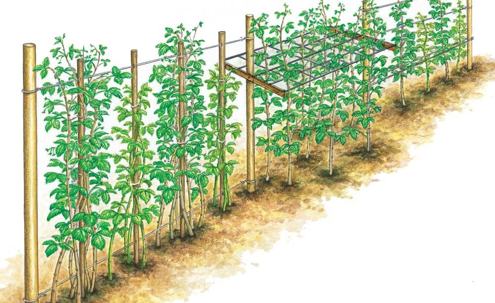 Himbeeren Richtig Schneiden Garten Garten Bepflanzen Garten Ideen