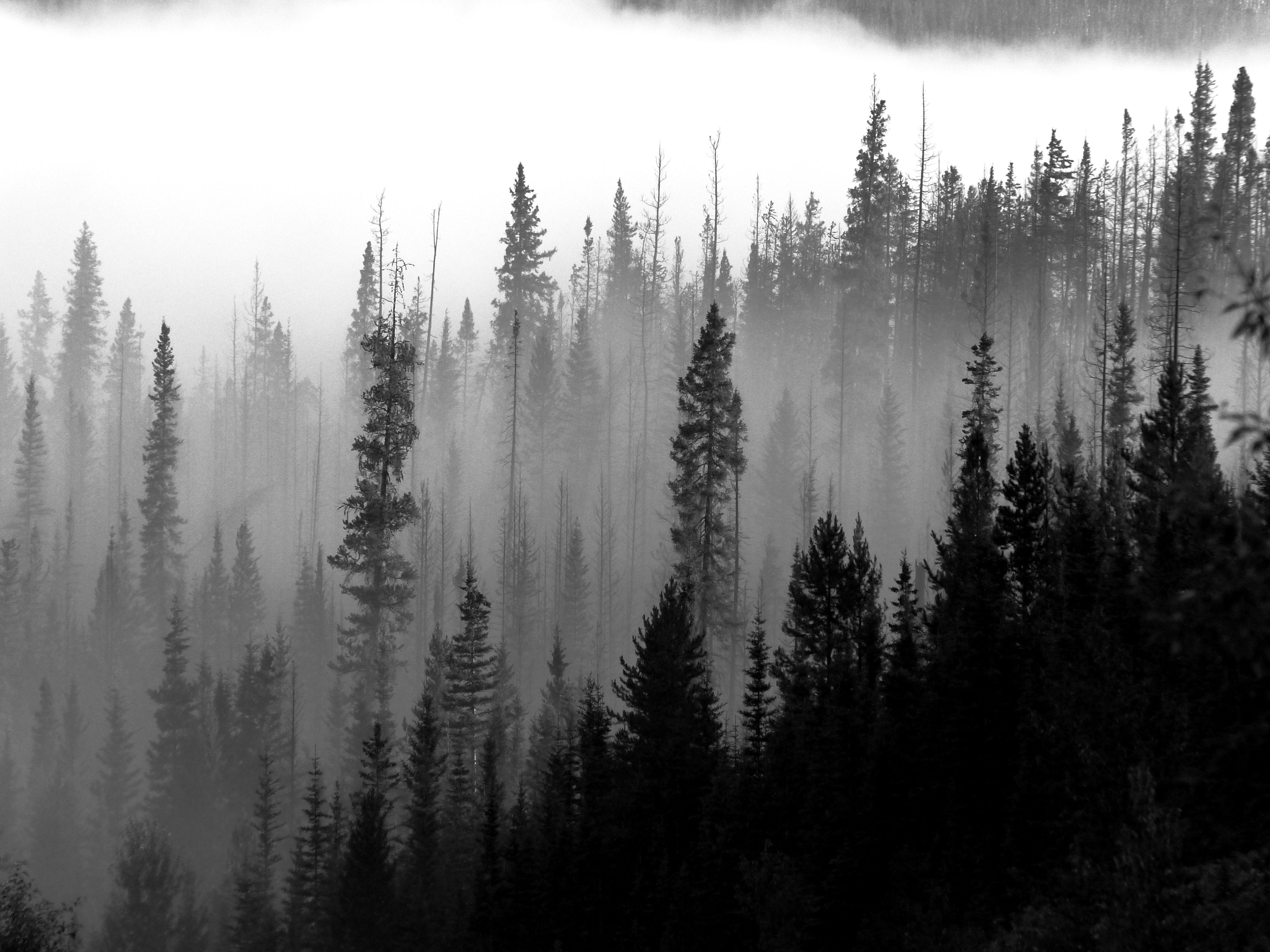 Image result for Misty Pine forest Painting Forest
