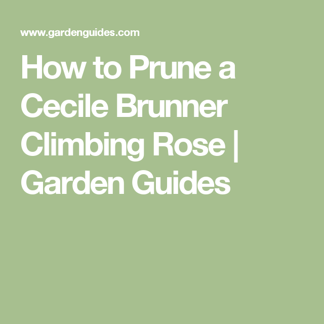 How To Prune A Cecile Brunner Climbing Rose Garden Guides Garden Guide Climbing Roses Fatsia Japonica