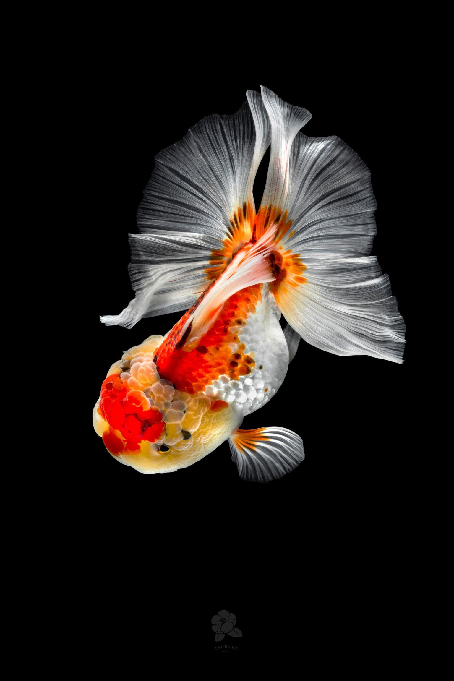 Richly Hued Portraits Of Elegant Chinese Goldfish By Tsubaki Colossal Goldfish Art Goldfish Oranda Goldfish