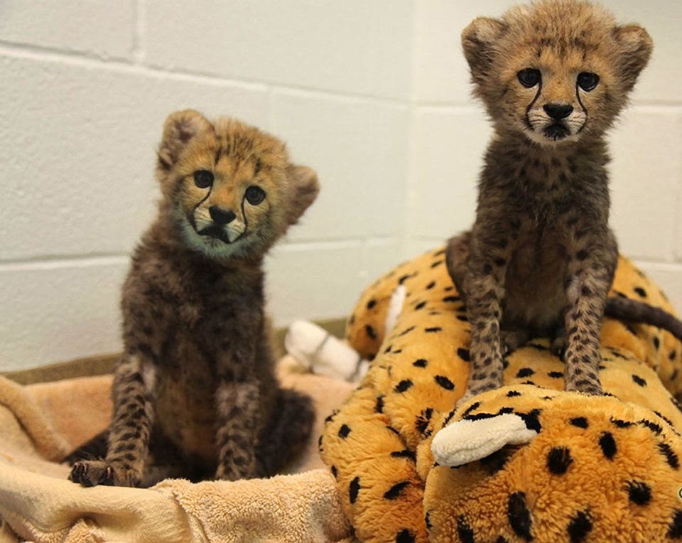 Dallas Zoo to raise cheetah cubs with a Labrador puppy