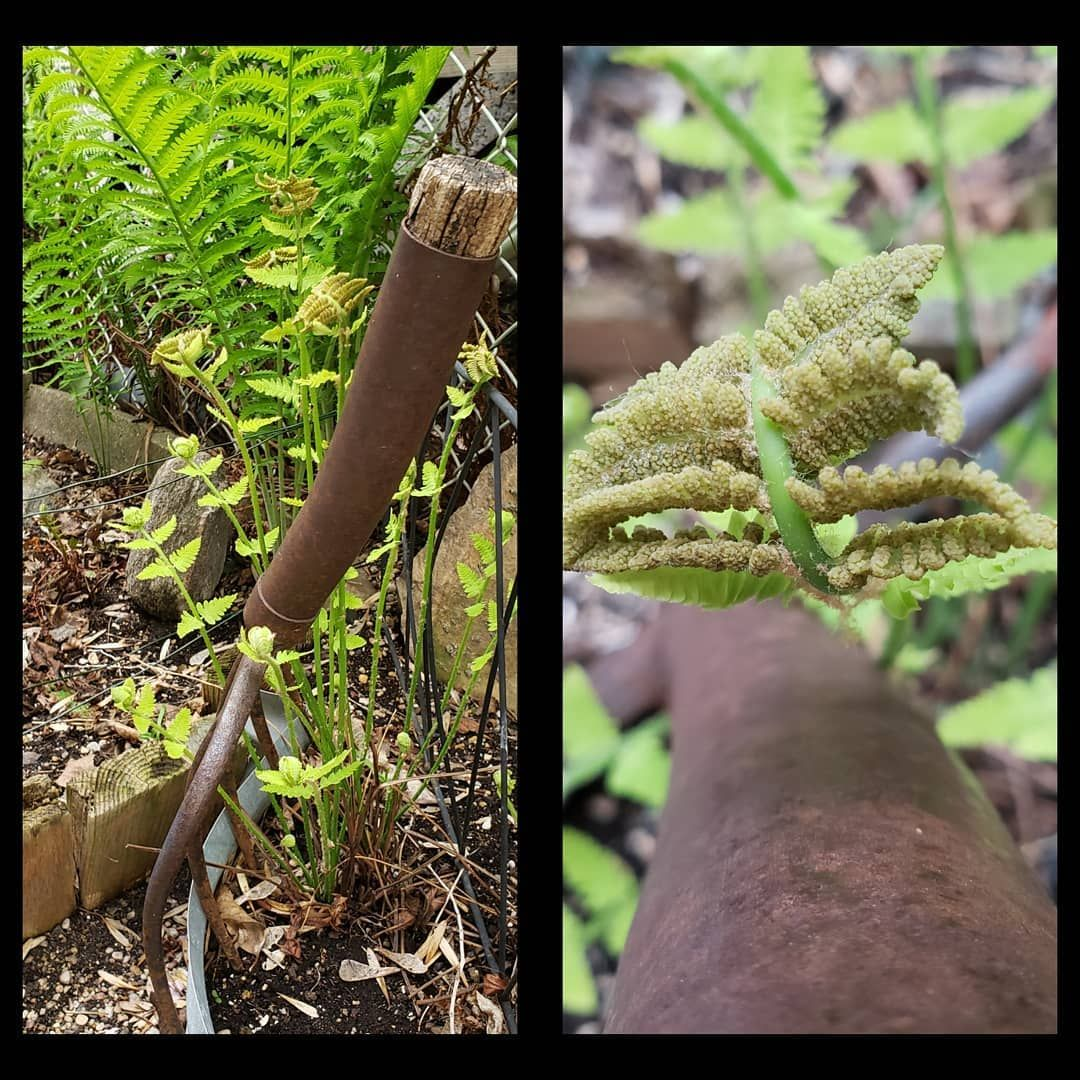 Photo left, in back ground, you'll see the common fern found everywhere,  invluding here. It fills in the fence line, and hides some of the chain link fencing. In the forefront is an INTERRUPTED Fern. It's growth habits are do interesting.  And I think that's it for #ferns tonight.  #winnipeggardens  #decoratewithyourownstuff #professionalgardener #amateurphotographer-SamsungS9 #texture #layering #theordinaryskincare #houseplants #kokedama #thrifting #recyclinggreenalternatives #homedecor #susta