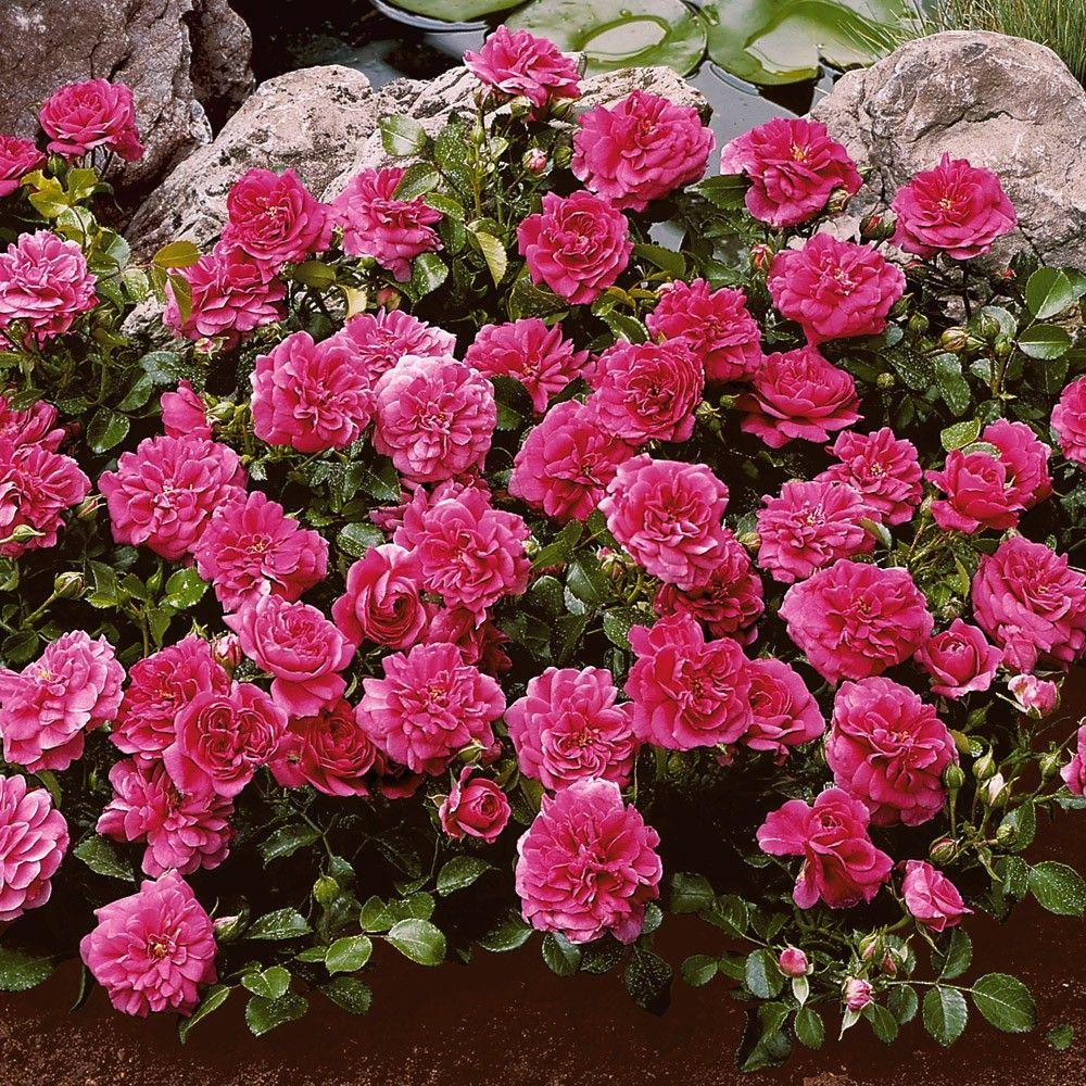 bodendecker rosen san remo pinkrosa steinbeet. Black Bedroom Furniture Sets. Home Design Ideas