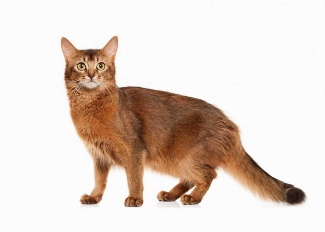 The Somali Cat Catbreeds Somalicat Cat Breeds Cat Species Cats