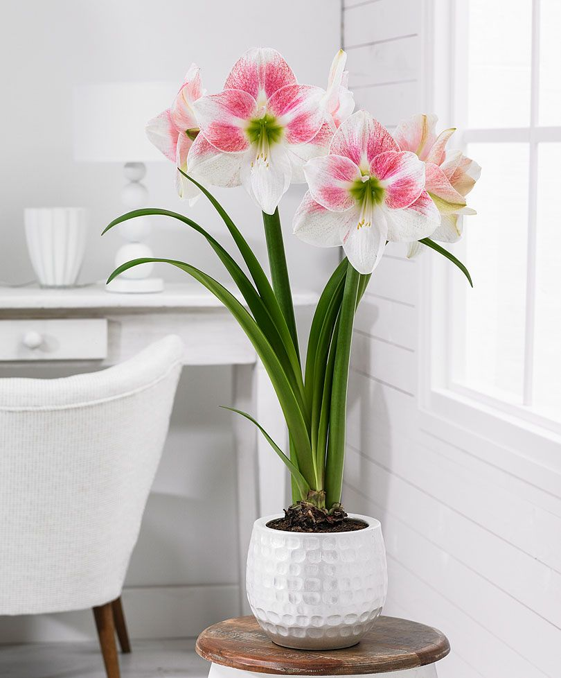Amaryllis Rosy Star Novita Fiori Piante Giardinaggio