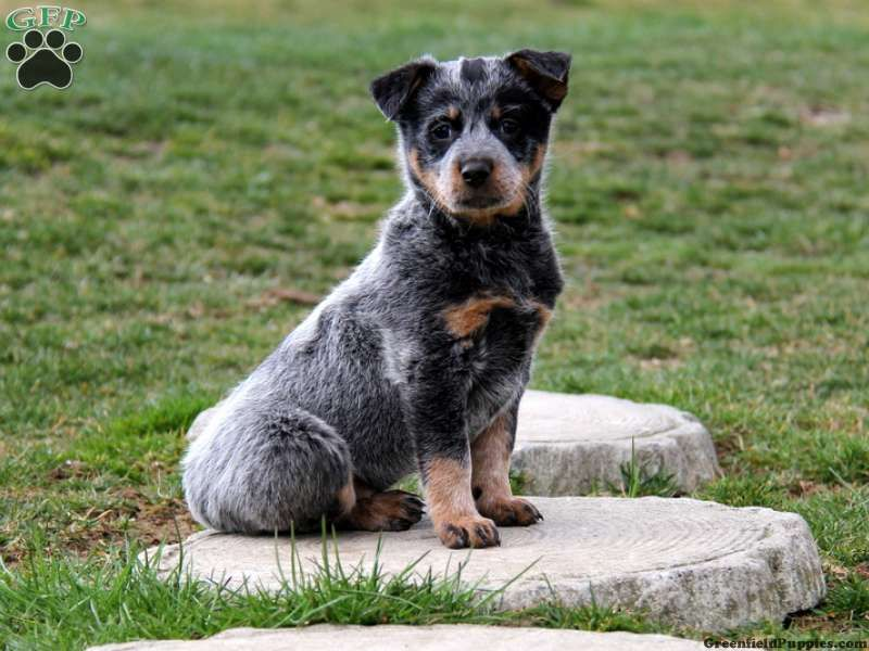 Sonja Blue Heeler Puppy For Sale From Paradise Pa Blue Heeler Puppies Heeler Puppies Blue Heeler