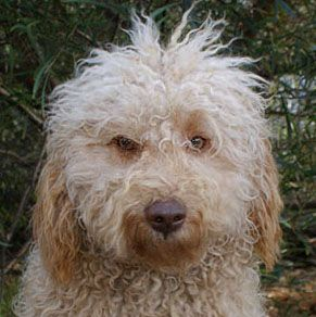 Tasmanian Labradoodles So Puppy Clucky With Images