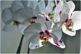 orchidea piu bella - Cerca con Google