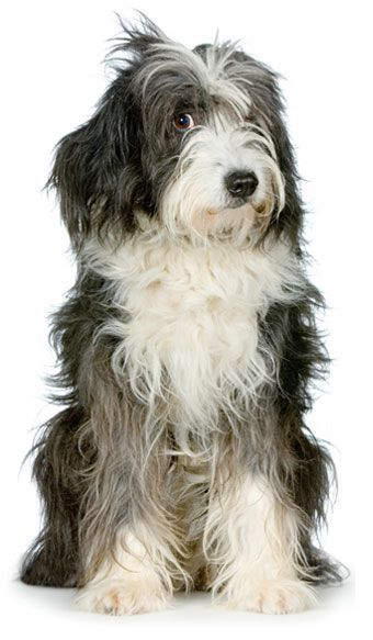 Dog Breed Dna Testing Features Tibetan Terrier Puppy Dogs Puppies Dog Bearded Collie Dog Breeds Collie Puppies