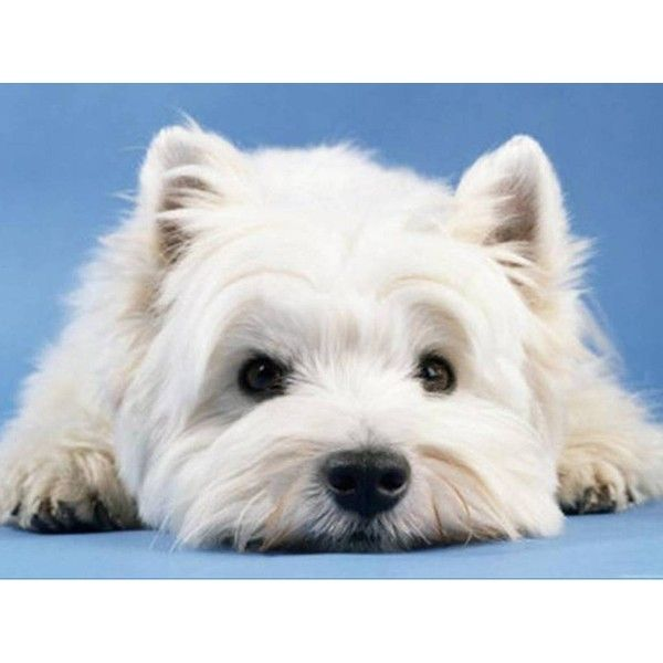 Pin By Elyn Hamilton On Polyvore Favorites And Fashion West Highland Terrier White Terrier Westie Puppies