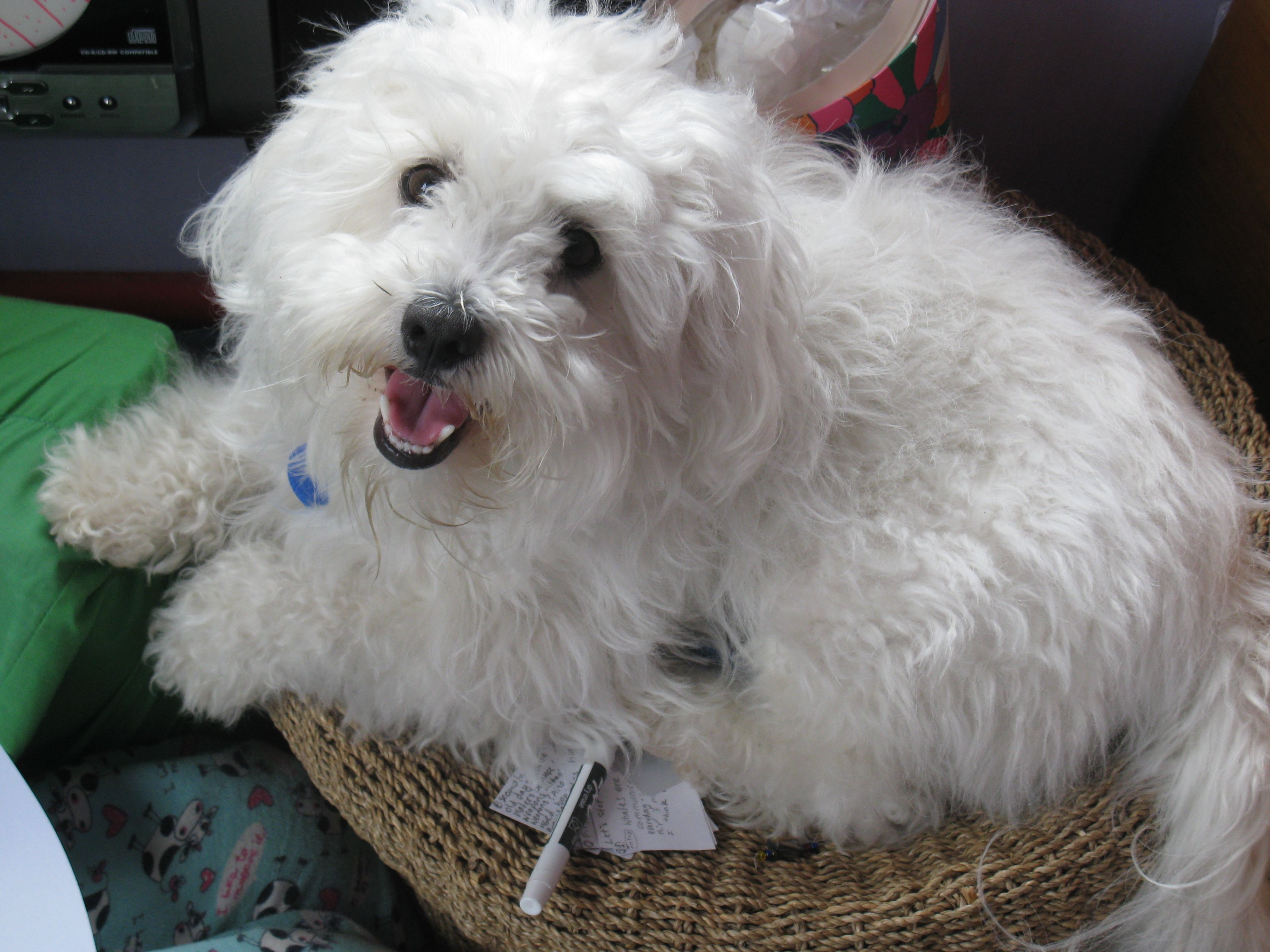 Charlie Bichon Frise Mixed With A Lhasa Apso Pawshake One Tree