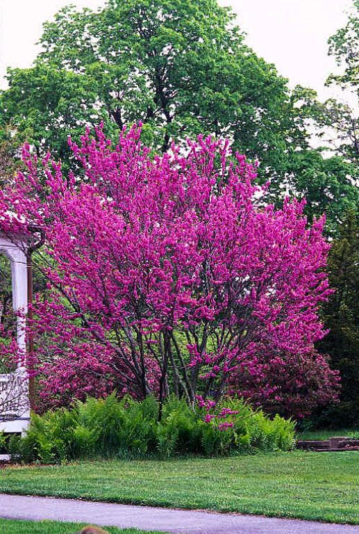 Chinese Redbud Backyard Ideas Pinterest Eastern Small Trees And Shrub