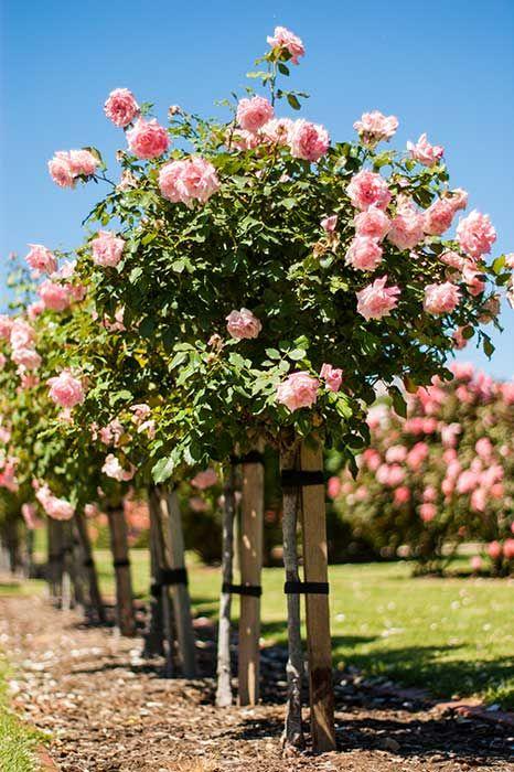 Rose Garden Airskull Heritage Rose Rose Garden Garden