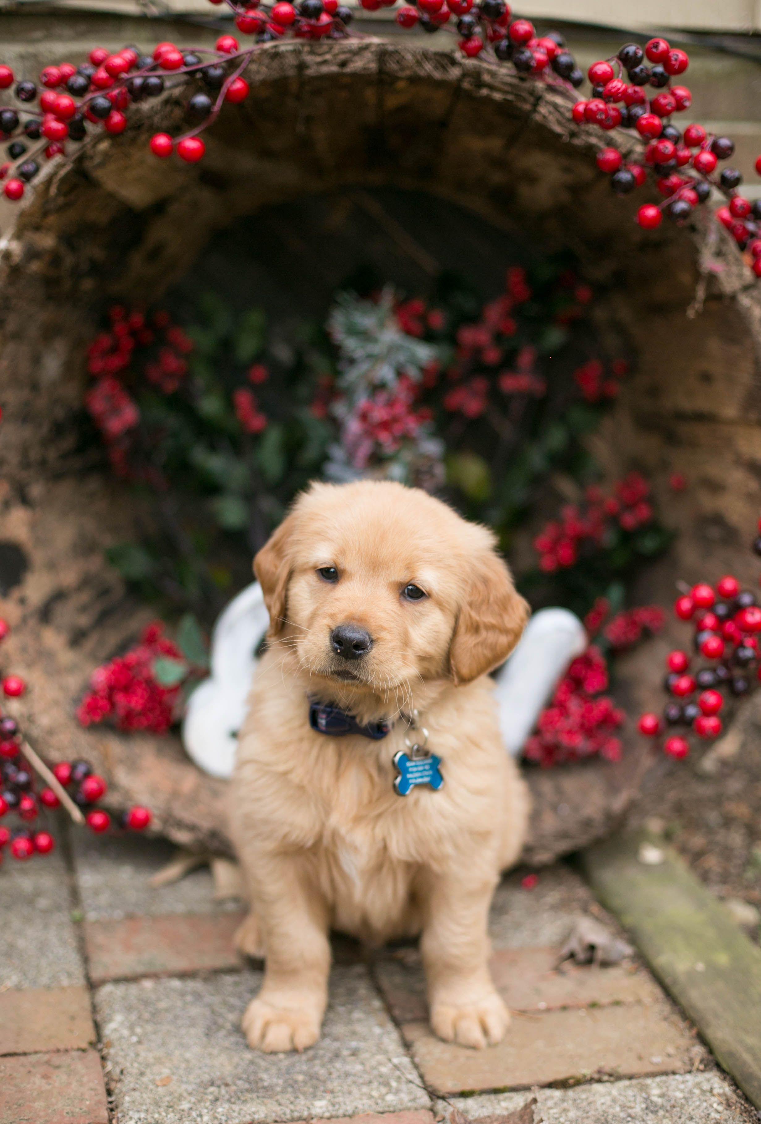 Kelly Sullivan Photography North Carolina Golden Retriever Puppy