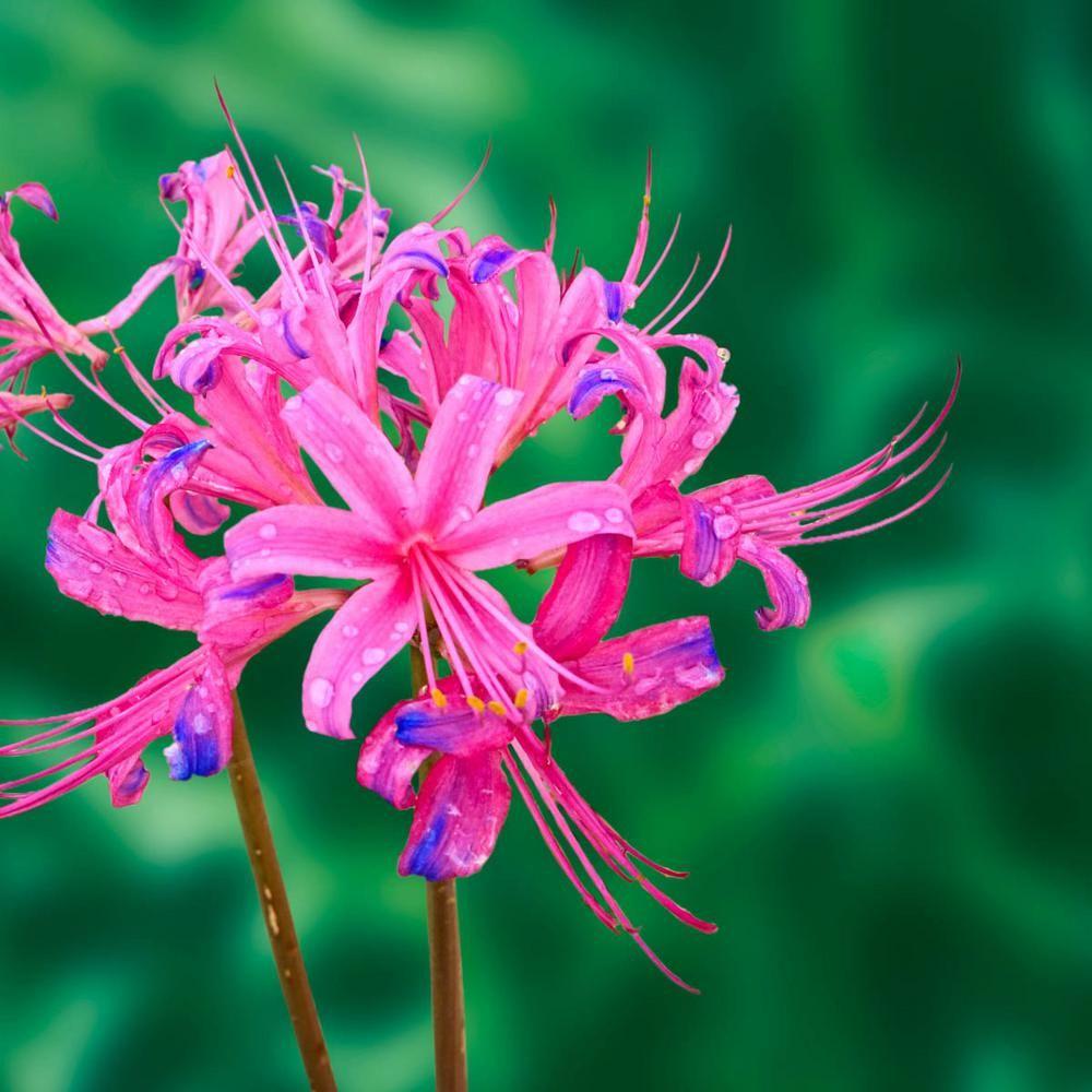 5x Bulbs Blue Lycoris Radiata  Spider lily Flower Garden Lycoris Bulbs 2019