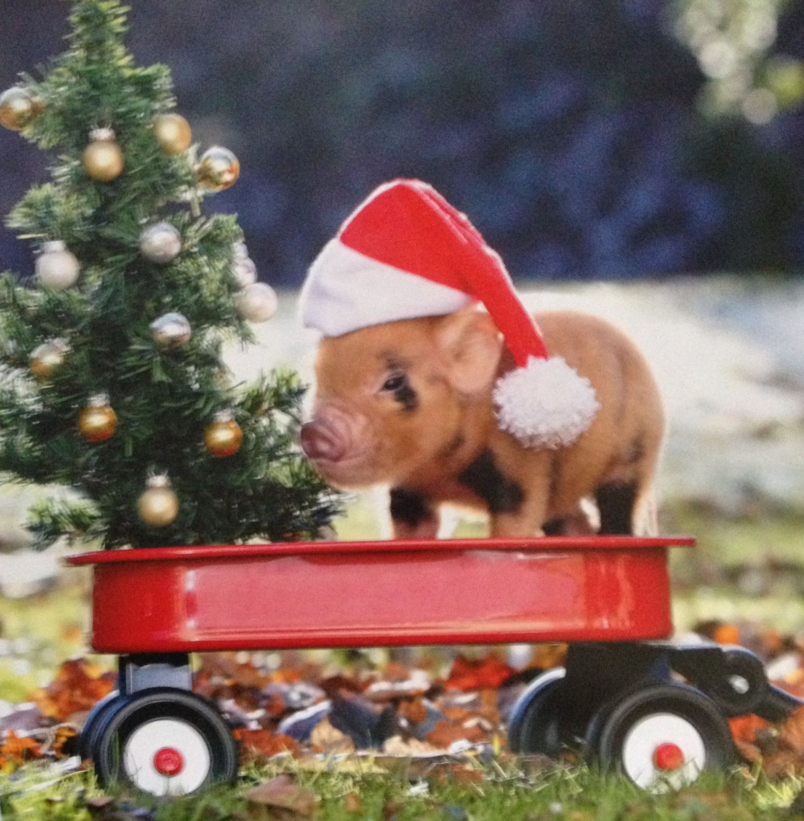 Merry Christmas! Cute pigs, Cute baby pigs, Baby piglets