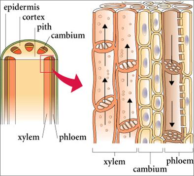 Vascular Tissue Xylem And Phloem Environmental Studies Plants