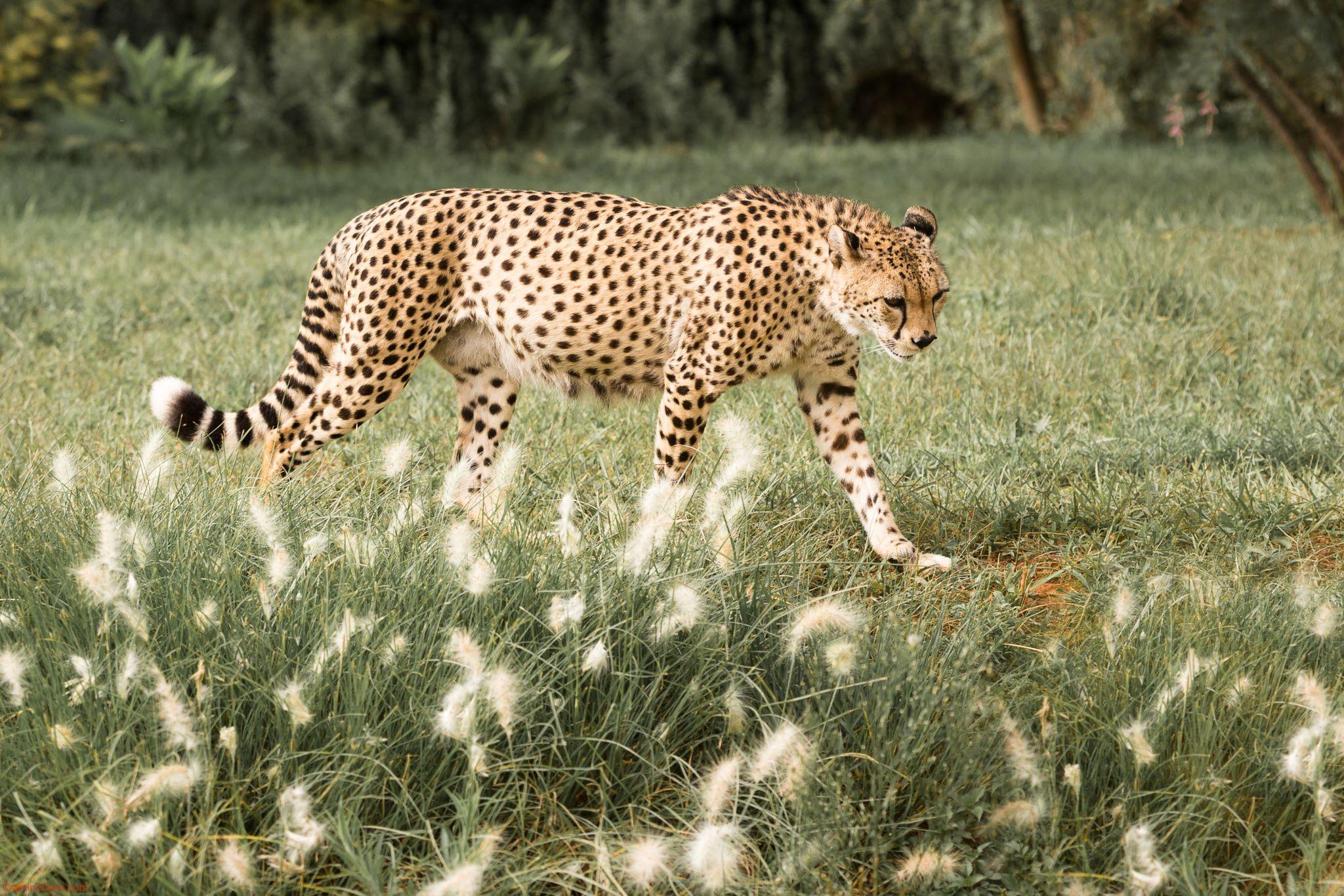 Morocco Zoo de Temara Cute cats, Cheetah, Animals