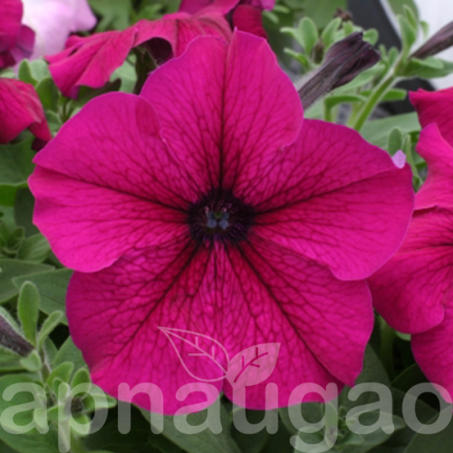 Petunia Prism Ruby F1 70 Seeds Petunias Flower Seeds Annual Flowers